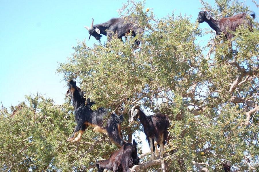 essaouira-road-goats-on-trees1503601904.JPG